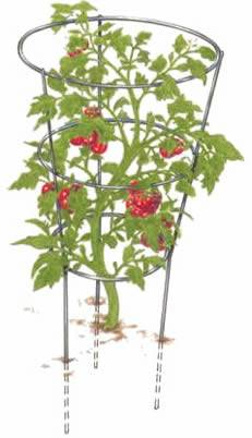 Round tomato cage with three legs and three rings keep tomato plant stand upright with a lot of red ripe fruits