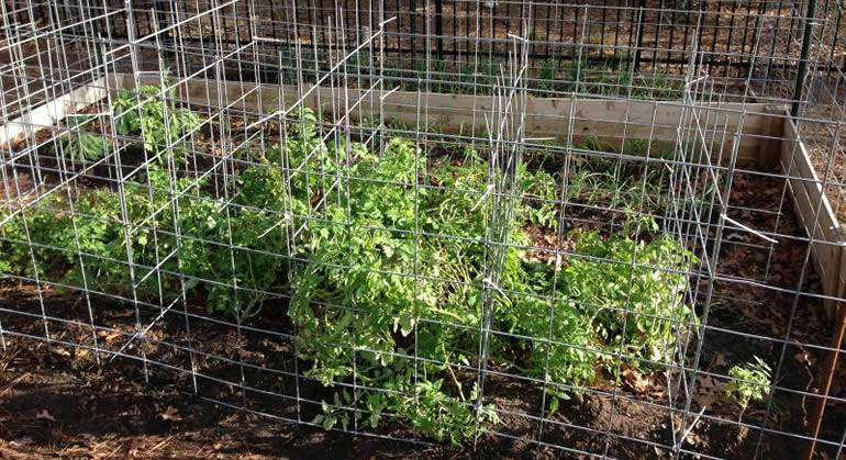 Large cattle panel tomato cages include six cells in order to support tomato plants more effectively