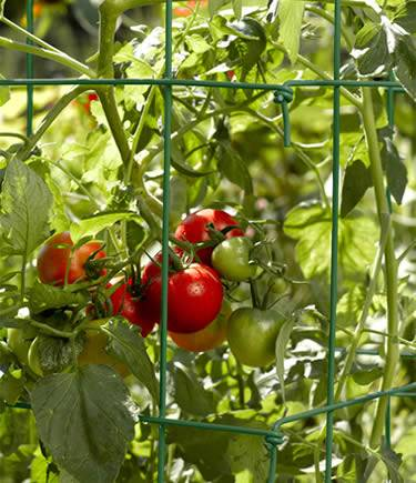 Green square tomato cage from hinged panels keep tomato plant with juice heavy green and red fruits