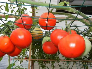 Many ripe sweet-juice tomatoes hanging from green horizontal plant support trellis ready for harvest