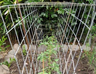 Tomato trellis wall made from two galvanized cattle panels and bamboo stakes in it, supports and protects the tomatoes.