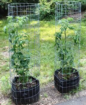 Two round tomato cages from galvanized cattle panel support tall tomato plants